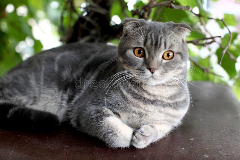 Stående av den brittiska Shorthair katten som ligger på en bakgrund av gröna sidor arkivbilder