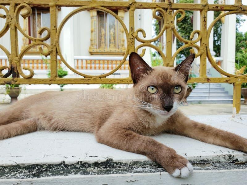 Stående av den bruna katten med gula ögon som ser kameran arkivbilder