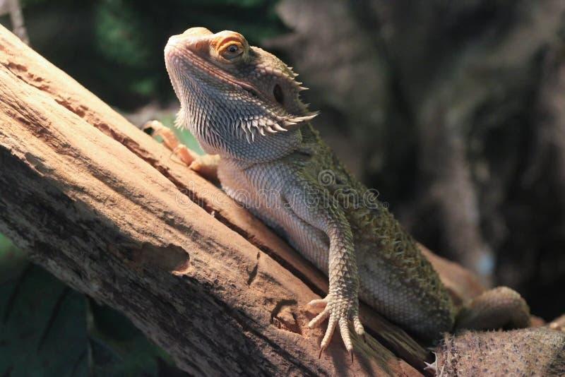 Stående av den centrala skäggiga draken från profil fotografering för bildbyråer