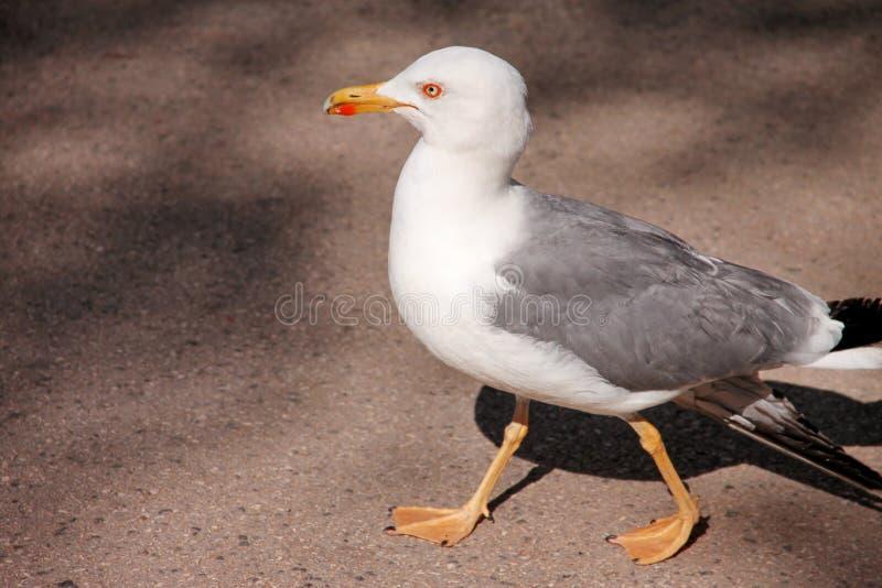 Stående av den enkla seagullen Den härliga vita fågelseagullen vilar och posera på gatan, slut upp Roligt seagullanseende fotografering för bildbyråer
