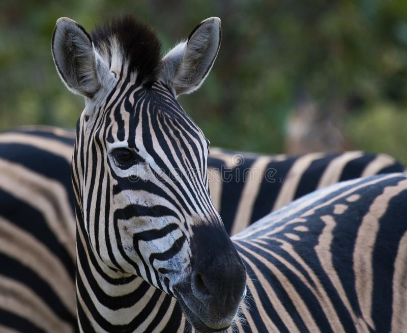 Stående av den enkla sebran, Equus som ser kameran royaltyfri fotografi