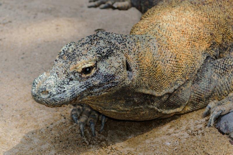 Stående av den enorma Komodo draken som vilar på sanden i Bali, Indonesien arkivfoton