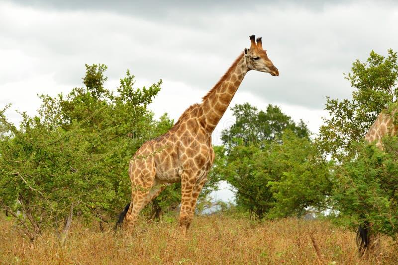 Stående av den ensamma giraffet royaltyfria bilder