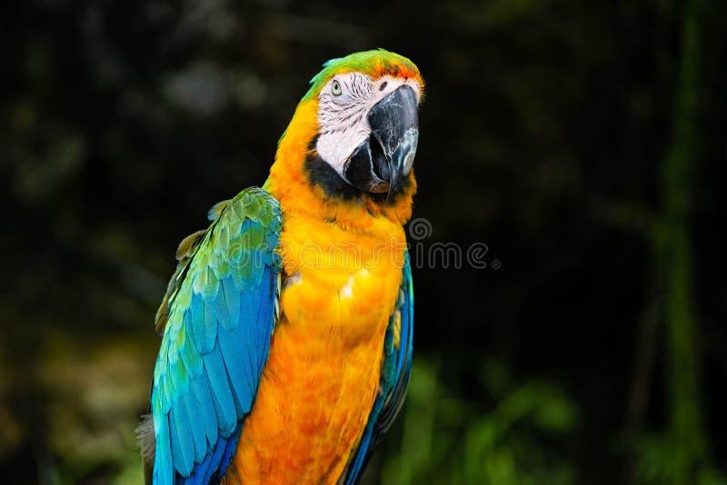 Stående av den färgrika scharlakansröda arapapegojan mot djungelbakgrund royaltyfria bilder