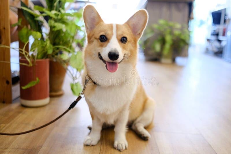 Stående av den förtjusande framsidan för leende för welsh corgihund som sitter i kaffekafé Valpen sitter väntande på beställninga royaltyfria foton
