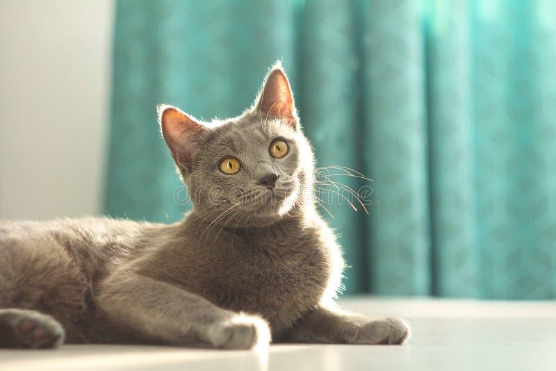 Stående av den förtjusande gulliga fluffiga gråa katten som luying på golvet på hemtrevlig hem- bakgrund bl? kattryss Inhemskt li royaltyfri foto