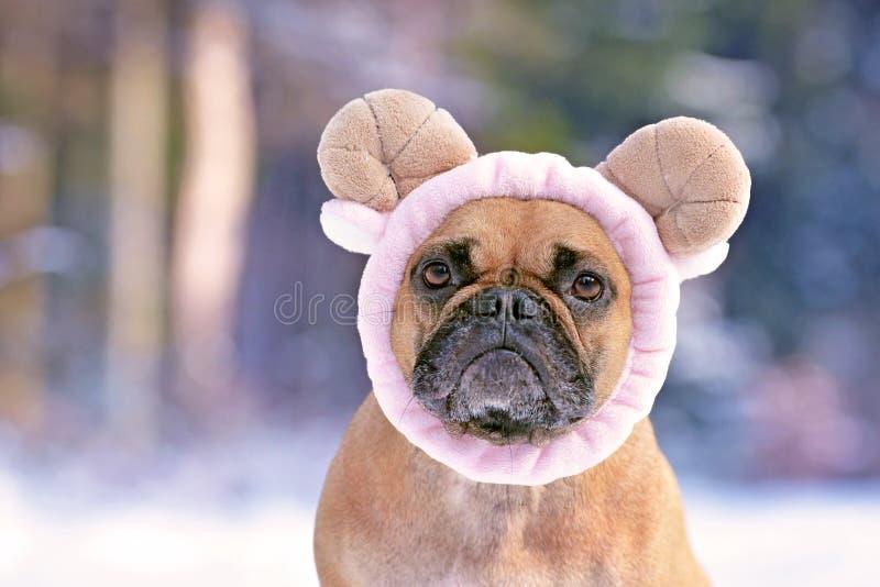 Stående av den förtjusande hunduppklädden för fransk bulldogg med fluffigt ljus - rosa fårhuvudbindel royaltyfria bilder