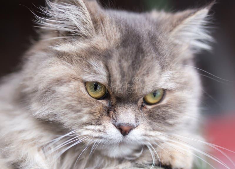 Stående av den fluffiga katten royaltyfria foton