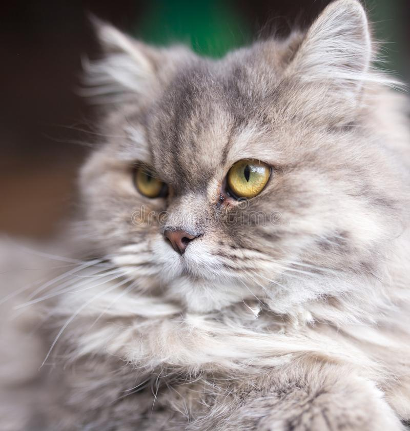 Stående av den fluffiga katten royaltyfri fotografi