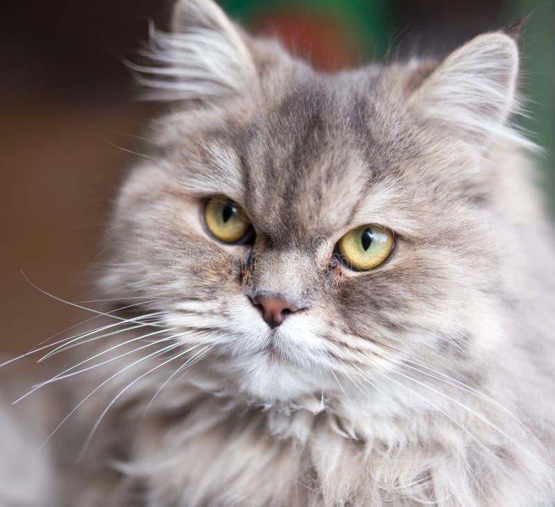 Stående av den fluffiga katten arkivfoton