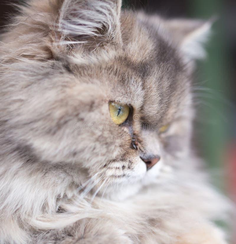 Stående av den fluffiga katten royaltyfria bilder