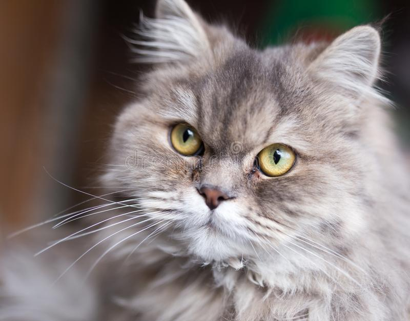 Stående av den fluffiga katten arkivbilder