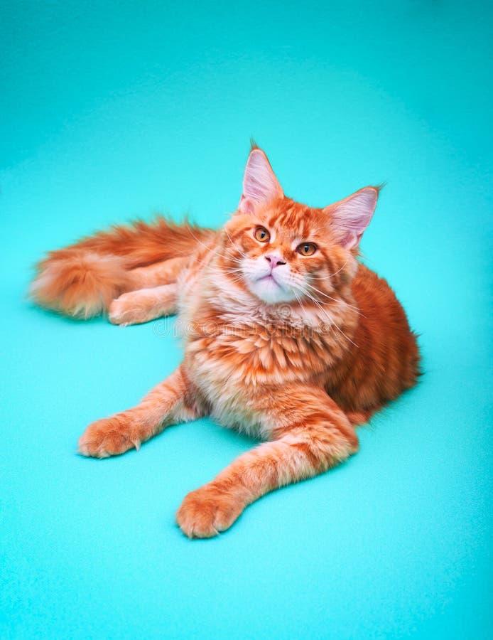 Stående av den Ginger Maine Coon katten som ligger på grön bakgrund royaltyfria bilder