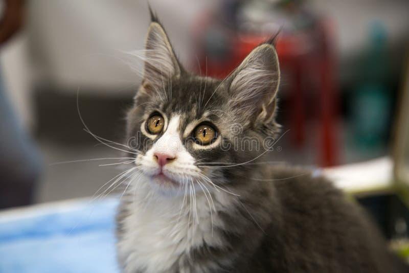 Stående av den gladlynta glade kattungen långhåriga Maine Coon Selektivt fokus arkivbild