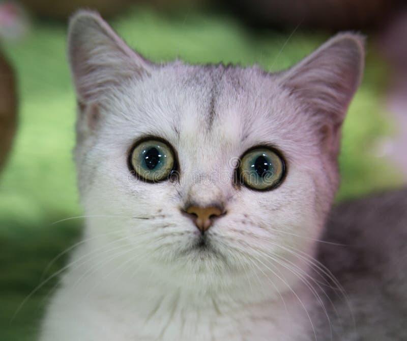 Stående av den gladlynta glade kattungen Maine Coon Selektivt fokusera royaltyfri fotografi