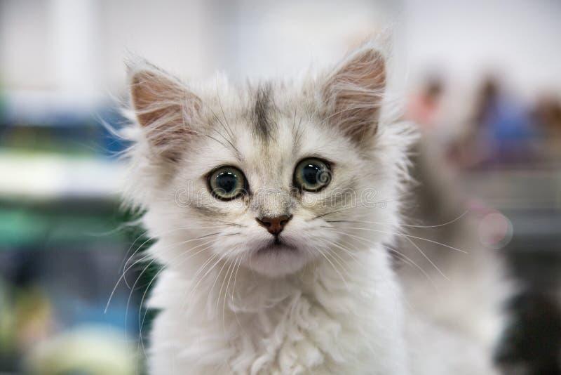 Stående av den gladlynta glade kattungen vita Maine Coon Selektivt fokusera royaltyfri foto