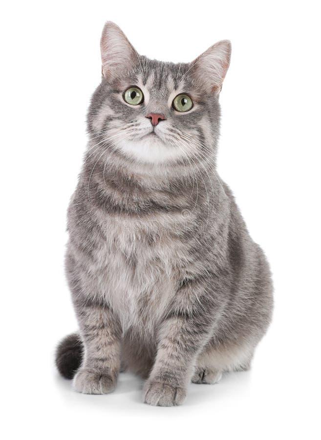 Stående av den gråa strimmig kattkatten på vit bakgrund royaltyfria foton