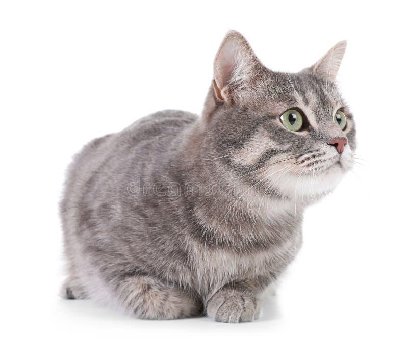 Stående av den gråa strimmig kattkatten på vit bakgrund arkivbilder