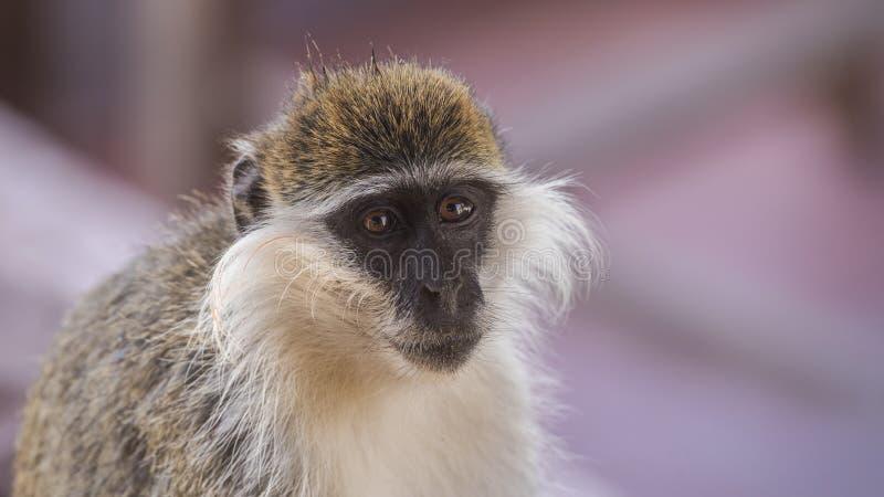 Stående av den Grivet apan arkivfoto