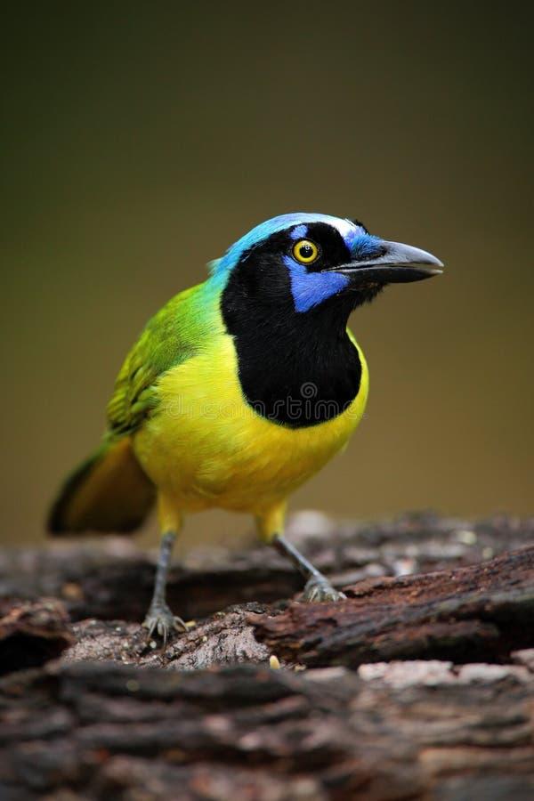 Stående av den gula fågeln med den blåa huvudgräsplannötskrikan, Cyanocorax yncas, lös natur, Belize royaltyfri bild