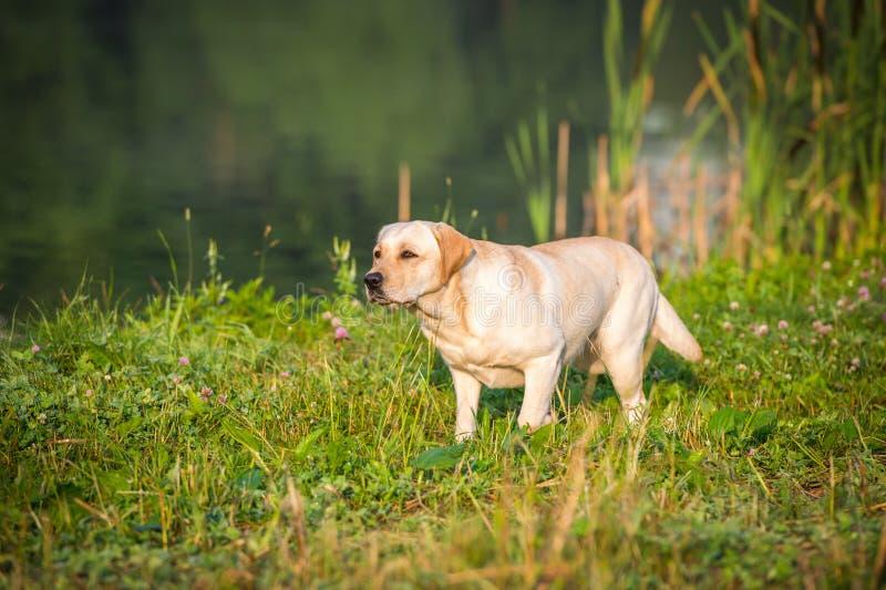 Stående av den guld- labradoren arkivfoton