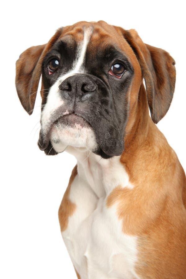 Stående av den gulliga boxarehundvalpen fotografering för bildbyråer