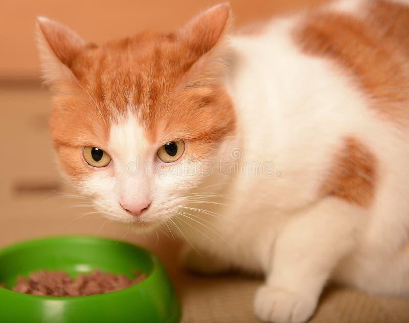 Katt med mat royaltyfri foto