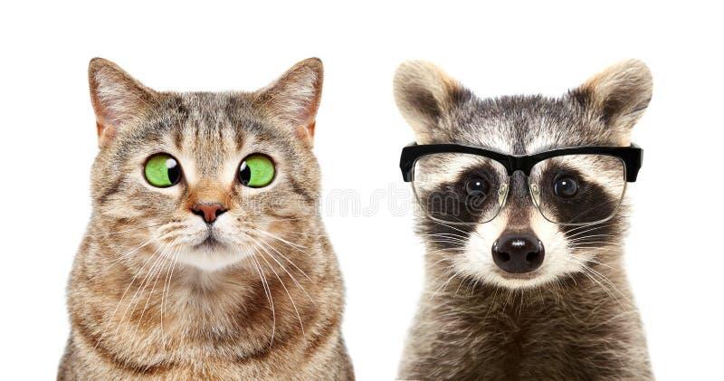 Stående av den gulliga katten och tvättbjörnen med ögonsjukdomar royaltyfria bilder