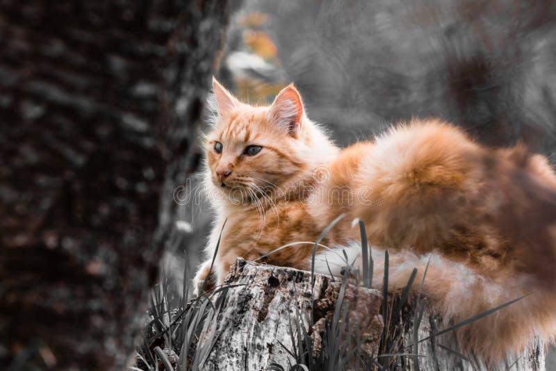 Stående av den gulliga lilla orange katten som utomhus ligger på trädstammen i selektiv färg som är svartvit i suddig bakgrund arkivbild