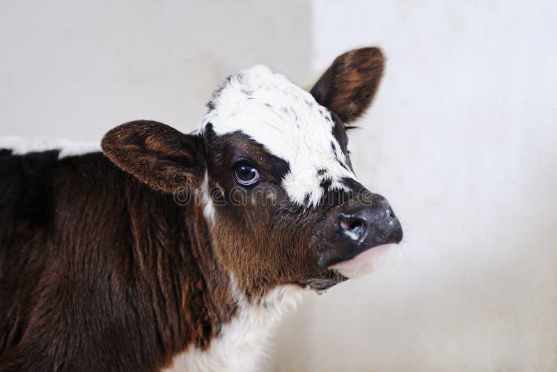 Stående av den gulliga nyfödda kalven royaltyfri bild