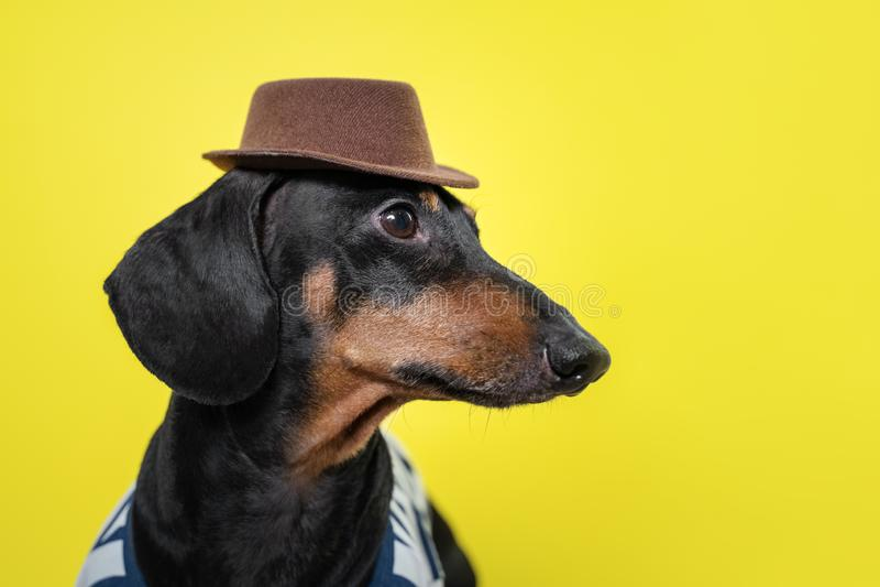 Stående av den gulliga taxhunden, svart och solbränt som rymmer den bruna hatten på huvudet på ljus gul bakgrund strandstil royaltyfria bilder