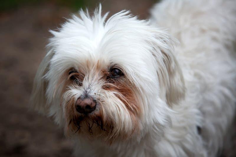 Stående av den gulliga vita fluffiga hunden utomhus arkivbilder