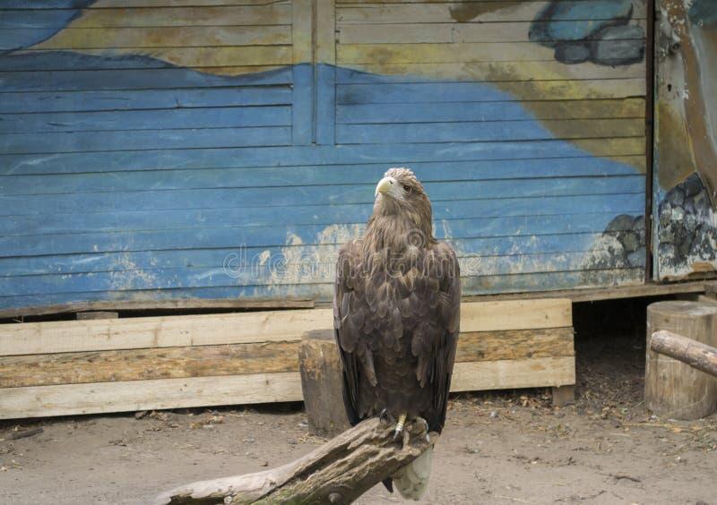 Stående av den härliga örnen royaltyfri foto