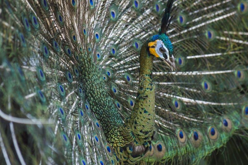 Stående av den härliga påfågeln med fjädrar ut arkivfoto