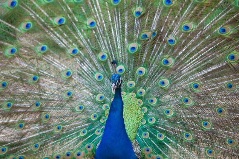Stående av den härliga påfågeln med fjädrar ut arkivbilder