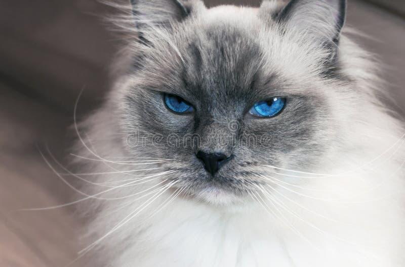 Stående av den härliga ragdollkatten med blåa ögon arkivfoto