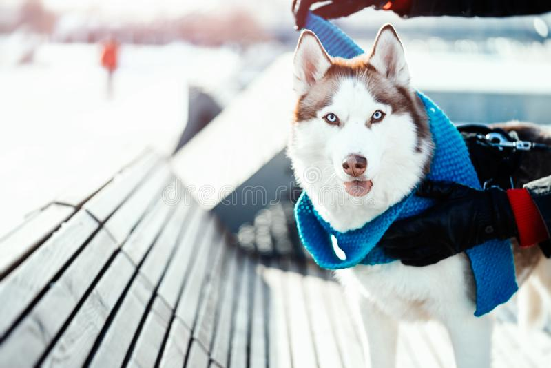 Stående av den härliga Siberian skrovliga hunden i blå varm halsduk på solig vinterdag royaltyfria bilder