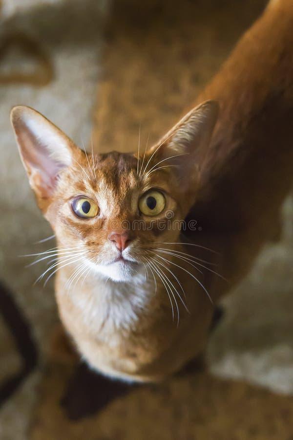 Stående av den härliga unga abyssinian katten Slut upp av den röda katten royaltyfri bild