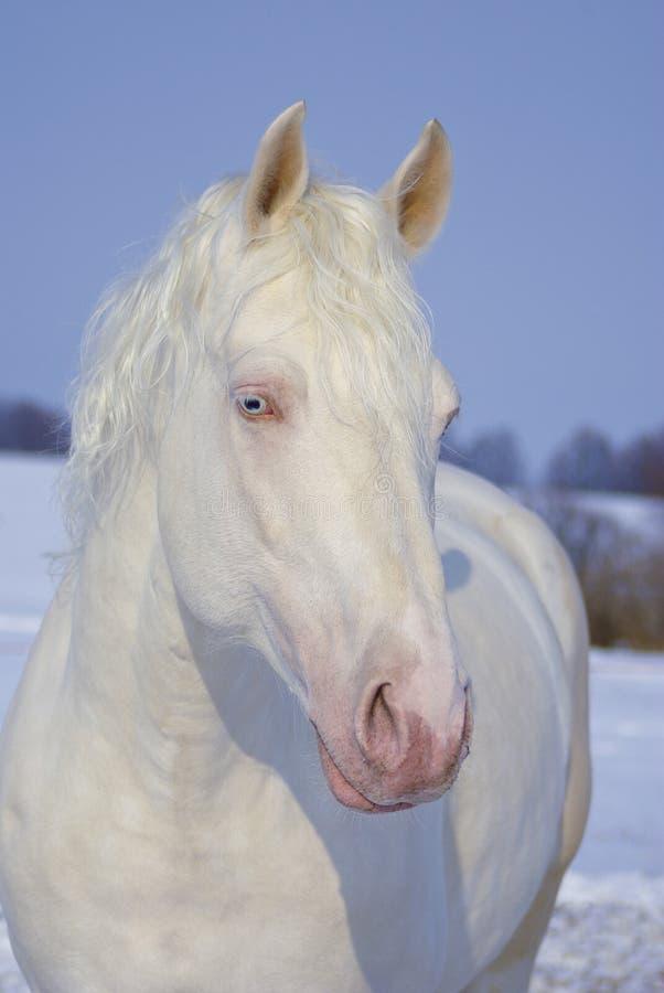 stående av den härliga vita hästen med blåa ögon arkivbilder