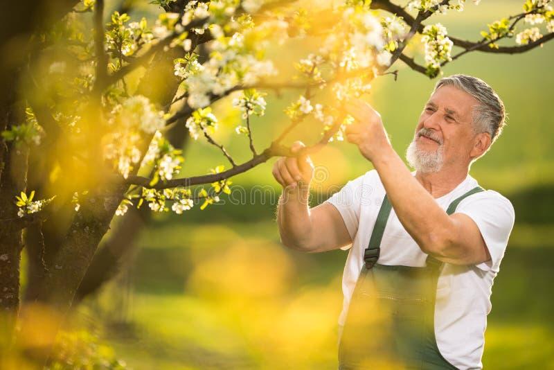 Stående av den höga mannen som arbeta i trädgården som tar omsorg av hans älskvärda fruktträdgård arkivbild