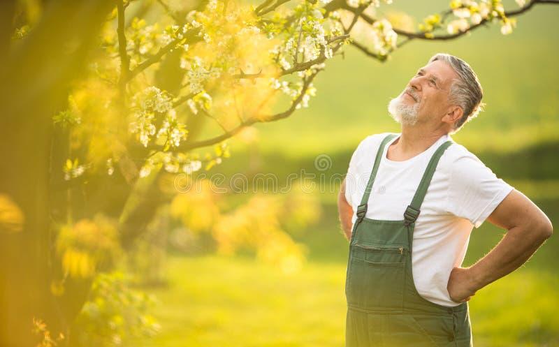 Stående av den höga mannen som arbeta i trädgården som tar omsorg av hans älskvärda fruktträdgård royaltyfri foto