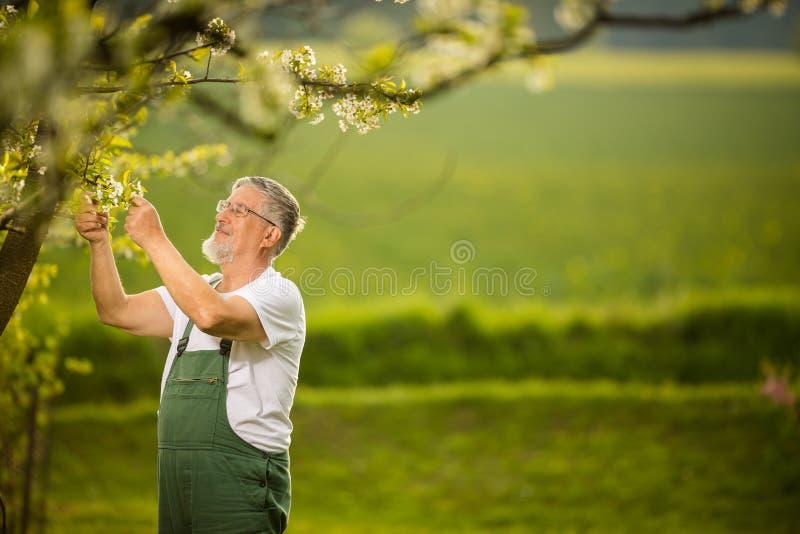 Stående av den höga mannen som arbeta i trädgården som tar omsorg av hans älskvärda fruktträdgård royaltyfri bild