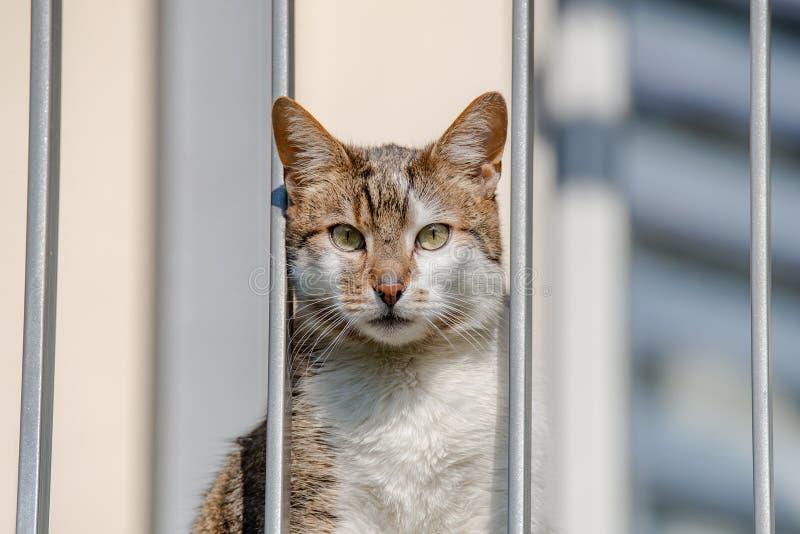 Stående av den inhemska olyckliga katten som ser till och med balkong som saknar inomhus för aktivitet den låsta extrema closeupe arkivfoto