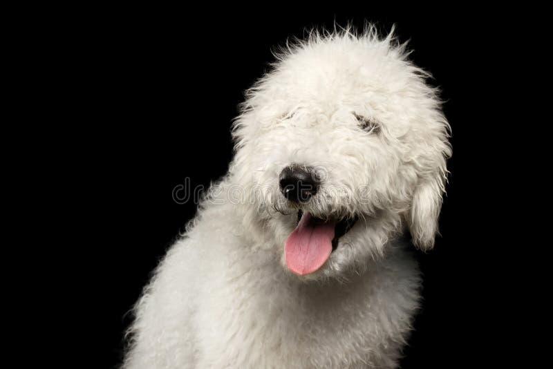 Stående av den Komondor hunden royaltyfri foto