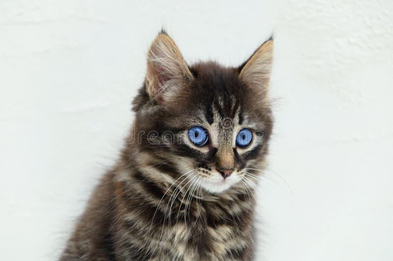Stående av den lilla kattungen med blåa ögon N?rbild Vit bakgrund royaltyfria bilder