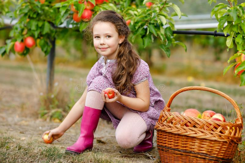 Stående av den lilla schooolflickan i färgrik kläder och rubber gummikängor med röda äpplen i organisk fruktträdgård _ royaltyfria bilder