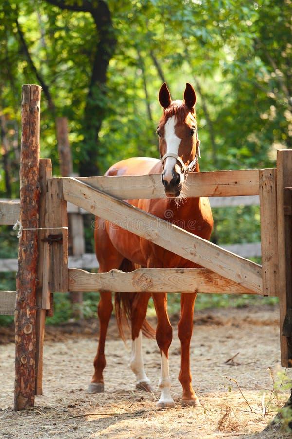 Stående av den ljust rödbrun hästen på lantgård. Utomhus royaltyfria foton
