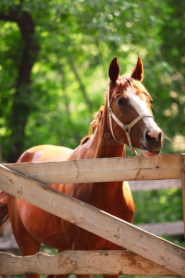 Stående av den ljust rödbrun hästen på lantgård. Utomhus arkivfoto