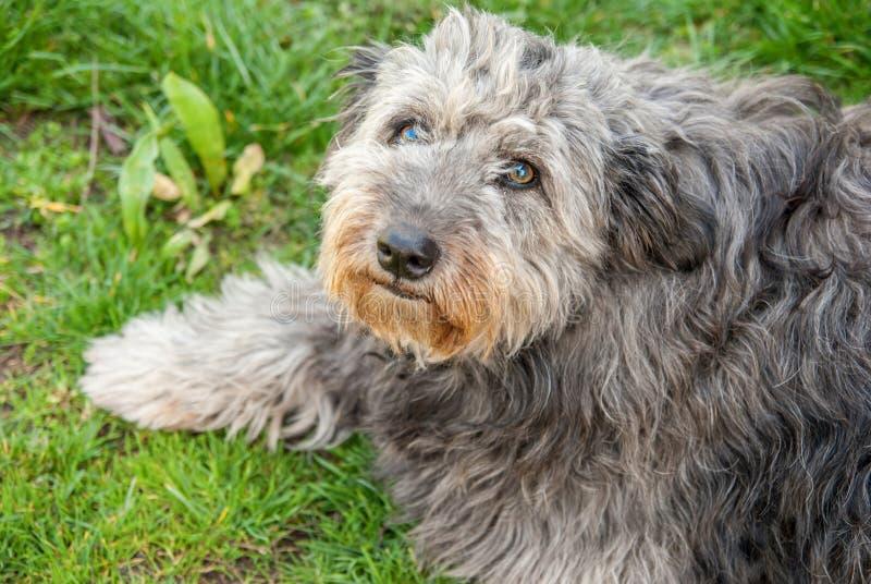 Stående av den lurviga gråa hunden royaltyfri bild