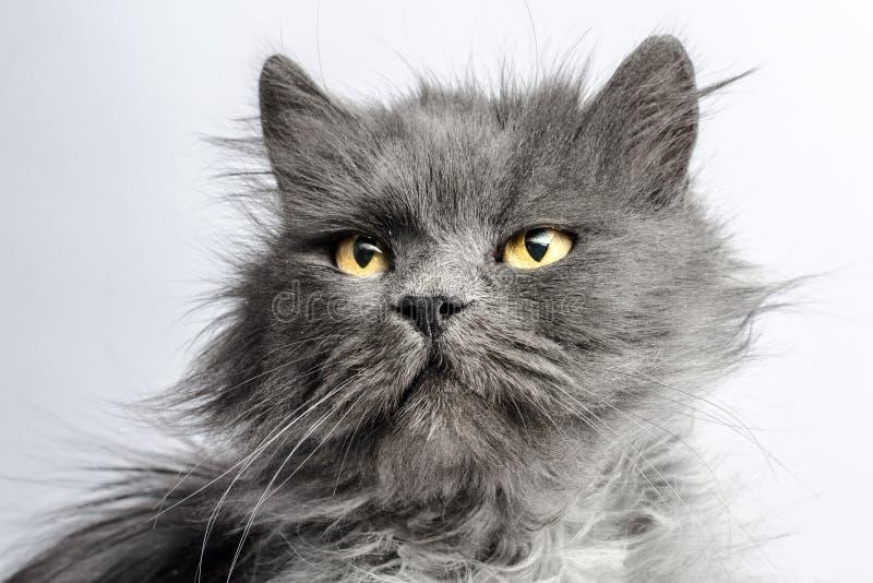 Stående av den lurviga gråa vuxna fluffiga katten på en ljus bakgrund arkivbild